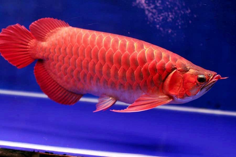Arwana Termahal : Arwana Super Red   Akuarium Ikan Hias