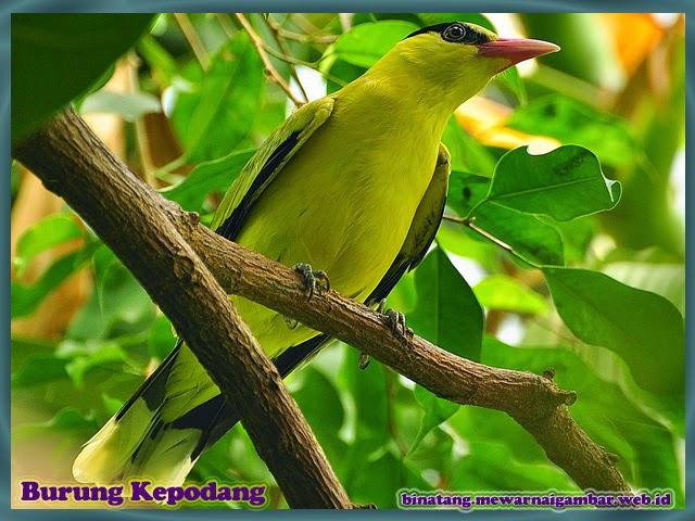 gambar binatang burung kepodang