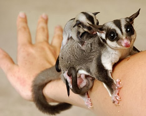 lovely cute pets sugar glider