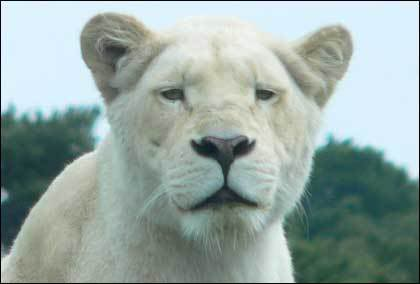 Lioness of Judah