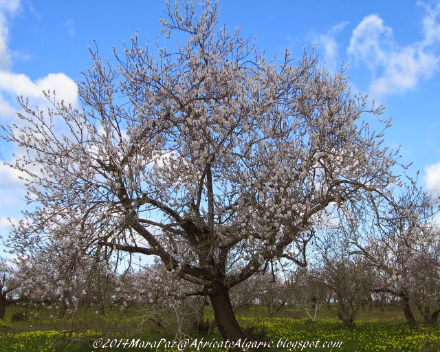Old almond tree in bloom
