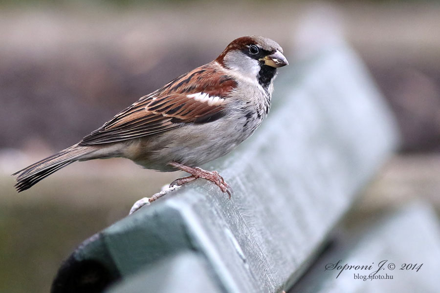Házi veréb - House Sparrow - Haussperling - Passer domesticus