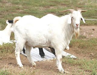 Ternak kambing, usaha ternak kambing, usaha penggemukan kambing,