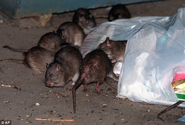 Rat Infestation