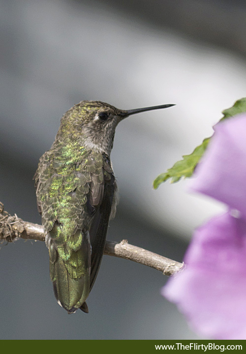 Hummingbird, Hibisucus