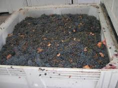 Quinto Paso:  Uvas separadas de hojas y partes verdes del racimo