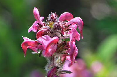 Pedicularis ornithorhyncha (Bird's Beak Lousewort)