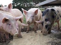 Meine Kleine Farm - Fazenda usa internet para deixar consumidor escolher porco que vai virar salsicha