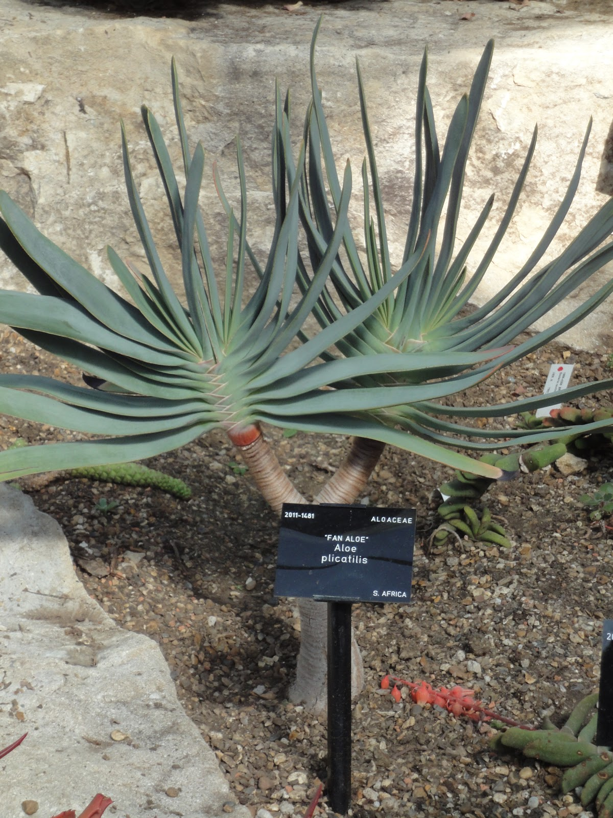 how to grow aloe plicatilis in australia