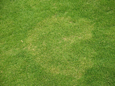 A view of ryegrass affected by yellow patch