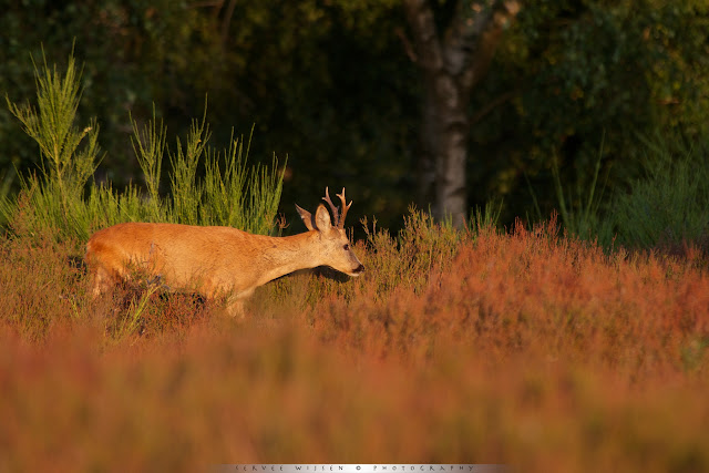 Reebok  in door Heidehaantje aangetaste heide bij avondlicht - Roe Deer buck in Heather affected by Heather Beetle in evening light - Capreolus capreolus