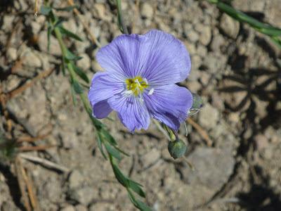 Prairie flax, Lewis flax