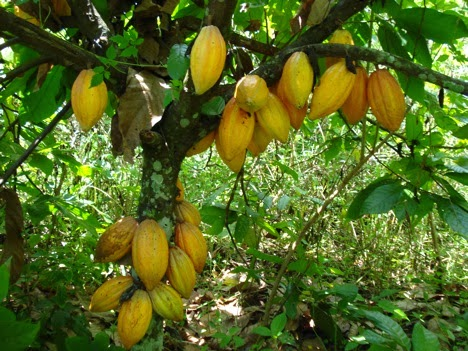 cacao production in the philippines pdf