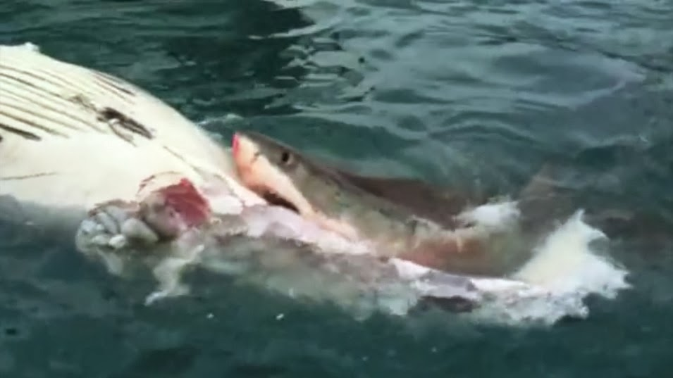 Shark Attack News - Man fights great white shark sydney harbour jumping cliff
