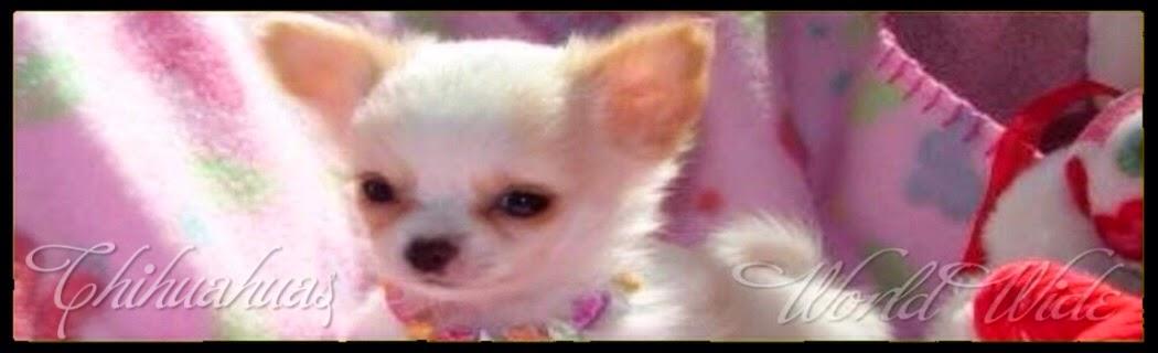 Chihuahuas World Wide