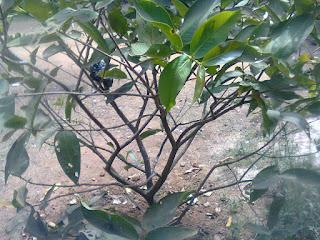 Pohon Jambu Air Hasil Cangkokan