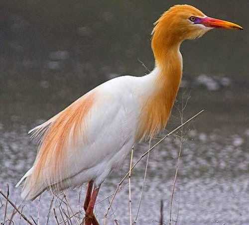 Indian birds - Cattle egret - Bubulcus ibis
