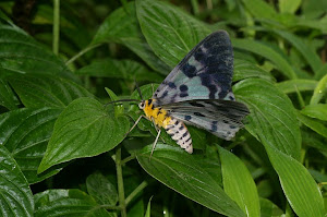 Blue Tiger moth.