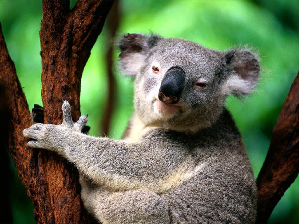 funny koala wallpaper funny animal