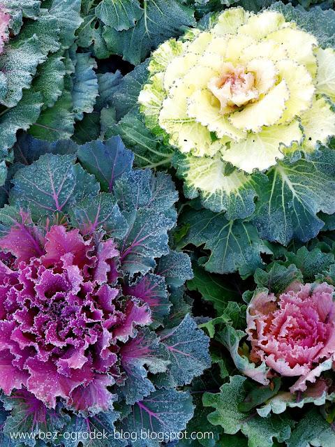 jak uprawiać kapustę ozdobną ogrodową