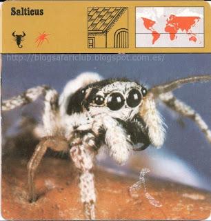Blog Safari Club, El Salticus, salta sobre sus presas con gran precisión