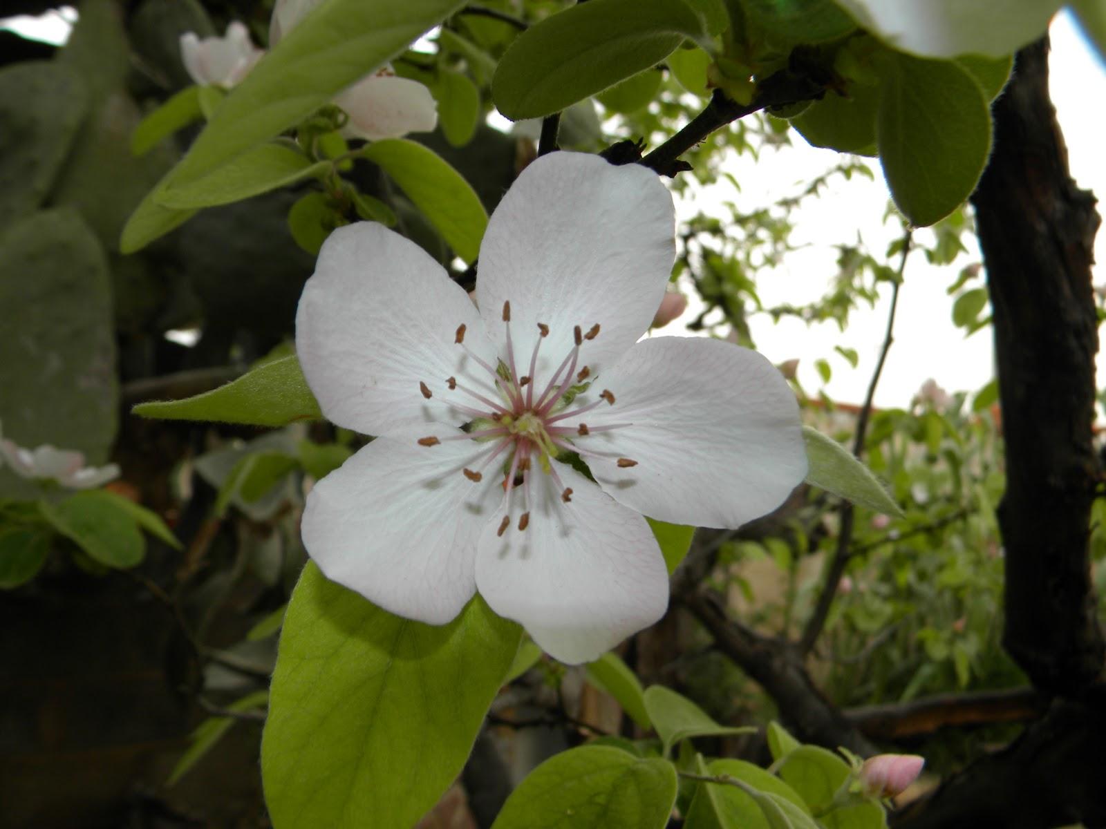 El huerto de tatay floracion manzano y membrillo - Arbol de membrillo ...