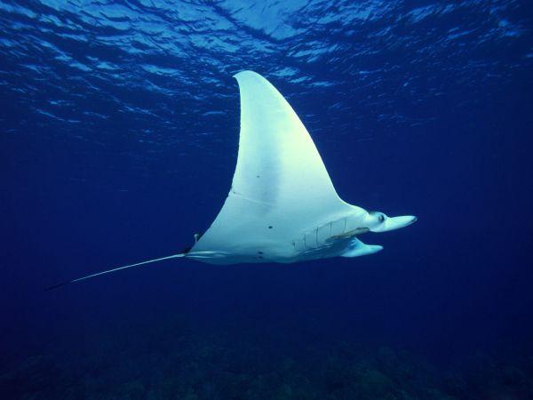 Ikan Pari Manta Terbesar di Dunia