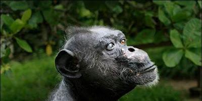 Foto seekor simpanse bernama Gregoire