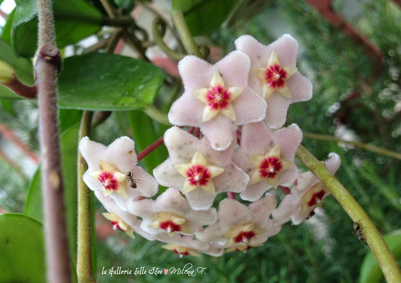 La galleria delle idee garden for Pianta fiori di cera