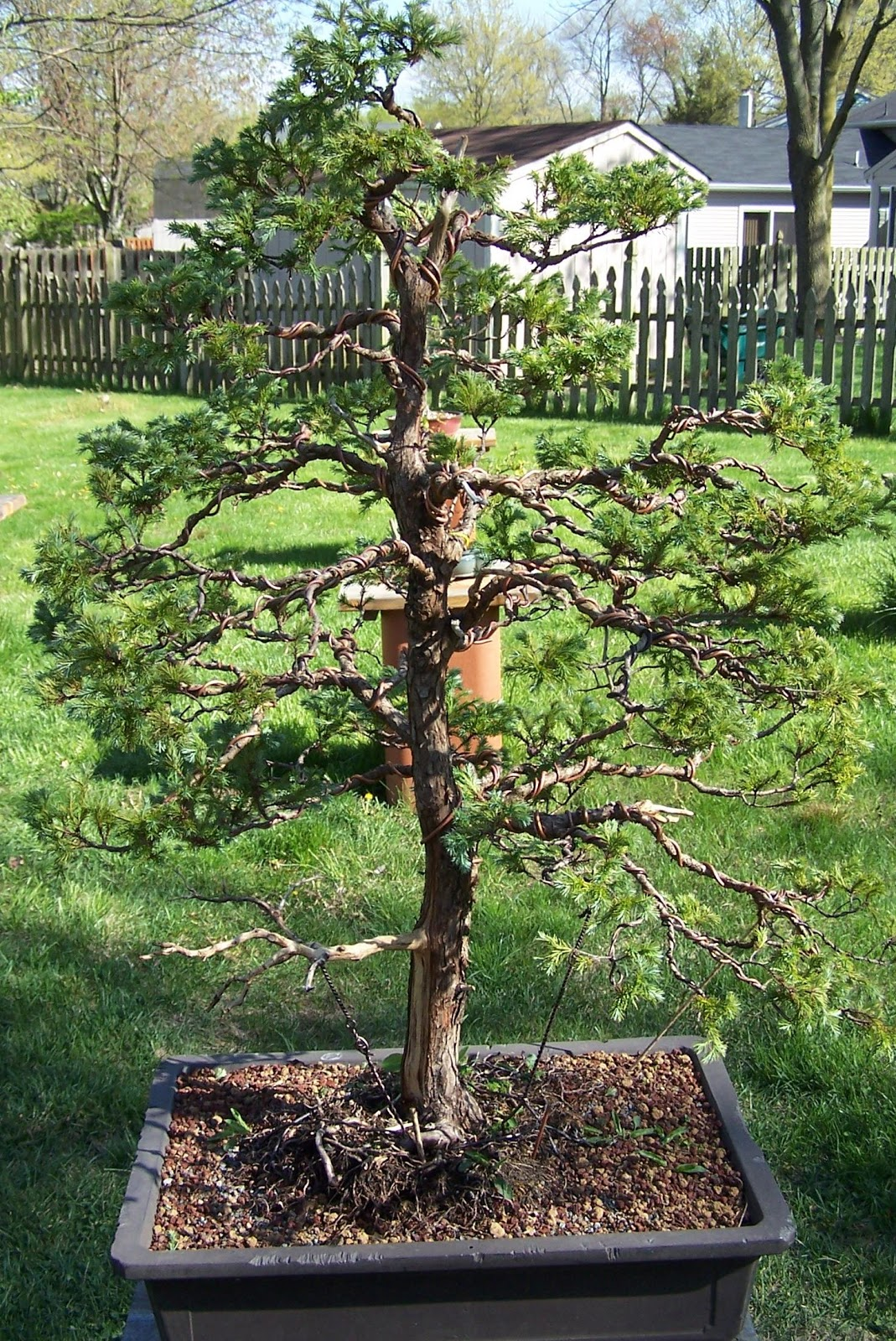The Bonsai Society Of South Jersey Blue Moss Cypress