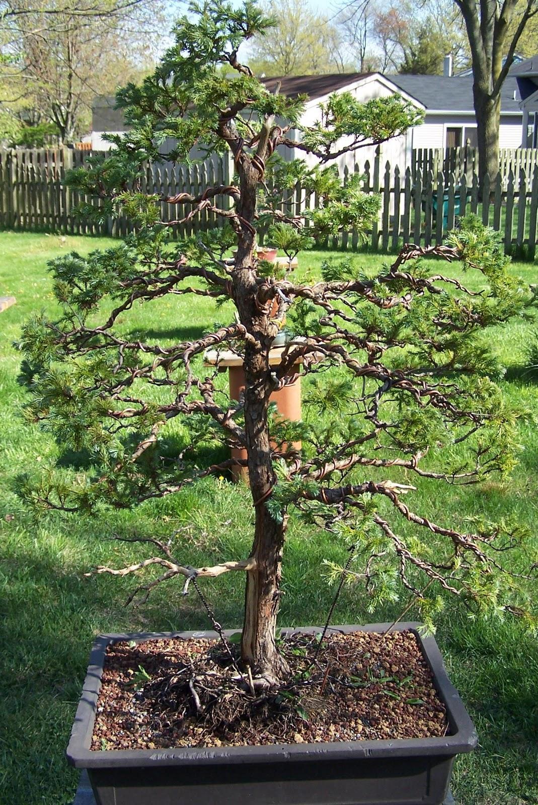 The Bonsai Society Of South Jersey Blue Moss Cypress