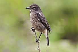memelihara burung decu si kecil bersuara lantang seputar