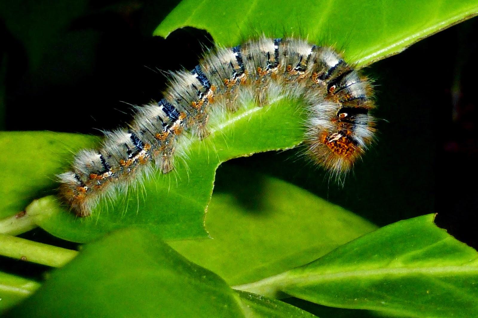 Lasiocampa quercus caterpillar