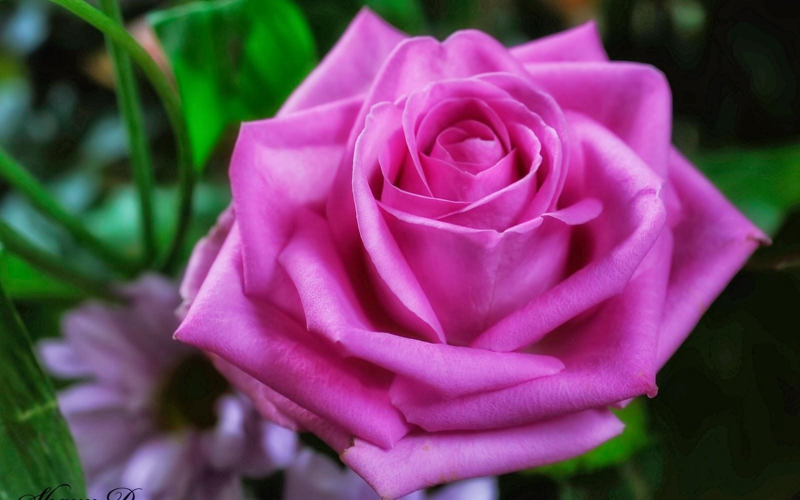 Imagenes hd de rosas hermosas imagui - Rosas rosas hermosas ...