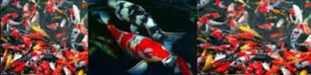 Cara Jitu Memelihara Ikan Mas Koi