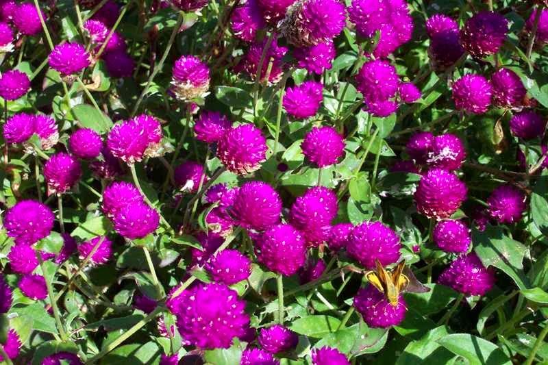 flores para jardim que duram:penduradas de cabeça para baixo em lugar escuro e seco