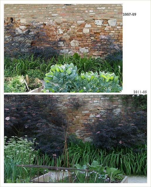 Sambucus nigra  BLACK LACE im Abstand von 3,5 Jahren fotografiert | www.klasse-im-garten.at