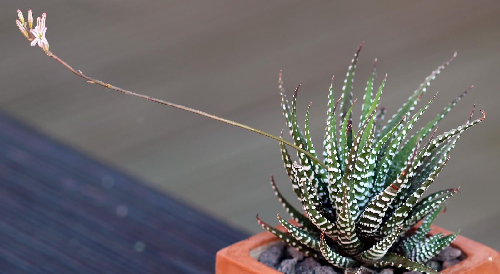 """Résultat de recherche d'images pour """"haworthia fleur"""""""