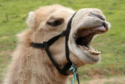 Верблюд смеется