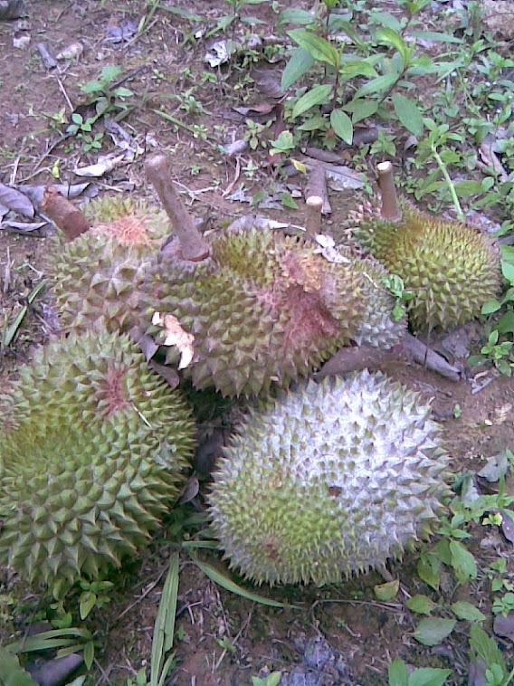 Musim Durian di Kebun ku