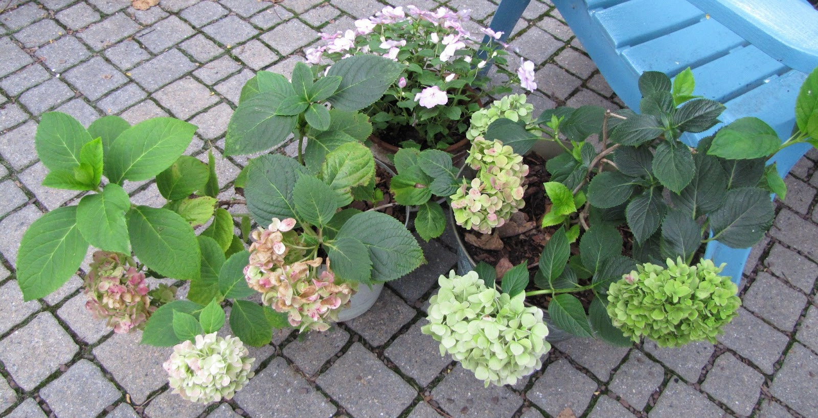 Views from the garden how to care for potted mophead hydrangea - Caring hydrangea garden ...