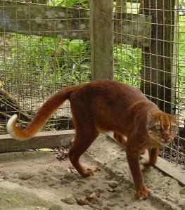 Indonesia Unique Native Cat Computer Engineering B