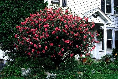 Сирийская роза выращивание в комнатных условиях 94