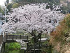 金沢街道沿いの桜
