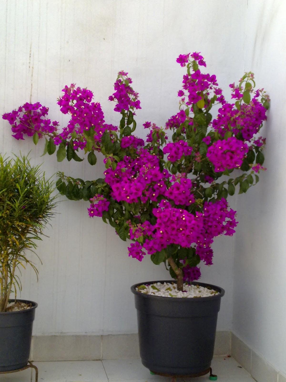 manaca de jardim em vaso : manaca de jardim em vaso:ano de envasada em vaso com capacidade de 30 quilos