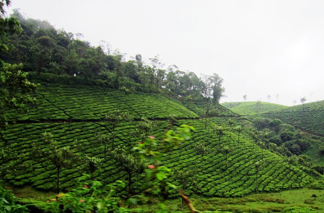 hilly tea gardens in Kerala