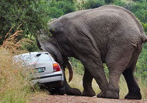 Elephant tries sex-up car in South Africa