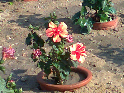Orange Hibiscus Flower Pot