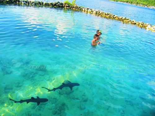 penangkaran hiu di pulau menjangan besar karimunjawa