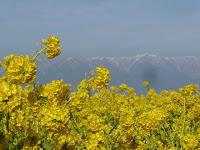 早咲きの菜の花畑(寒咲花菜)と比良山の風景。